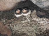 swallows 4