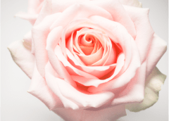 Rassemblement international Sororité de la Rose en Occitanie le dimanche 19 mai 2019