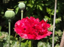 "Poppy ""Ruby Bonanza"""
