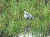 Heron at Minsmere