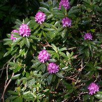 Rhododendronponticum2