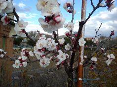 Árbol frutal en flor