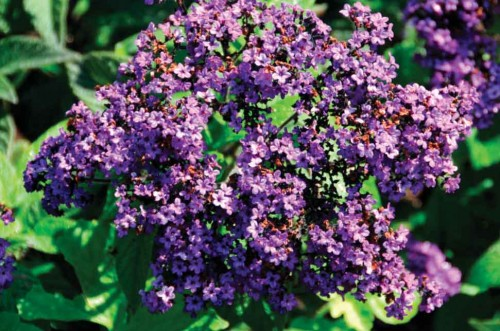 Heliotrope plant (photo by Hubert J. Steed)