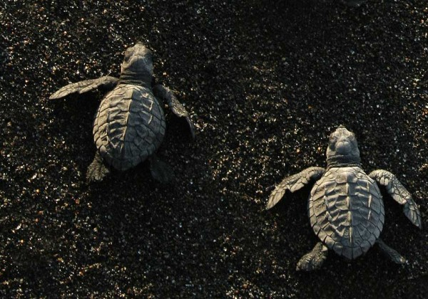 Hatchling sea turtles race to the water