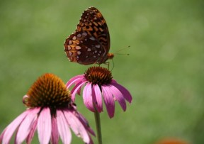 Butterfly at Monticello