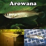 Aquarium Fish For Sale   Tropical Fish, Freshwater Fish and