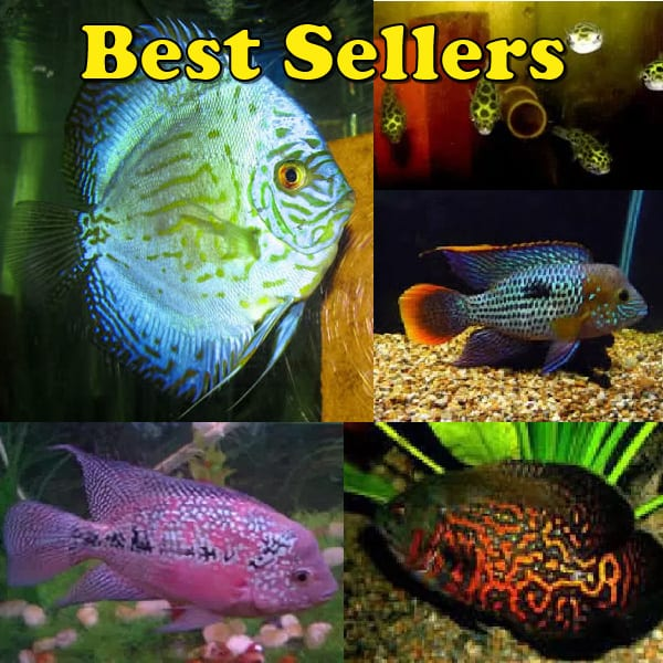 Guppies aquarium fish for sale for Dwarf puffer fish for sale