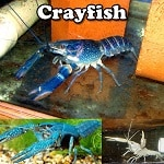 Exotic crayfish for sale
