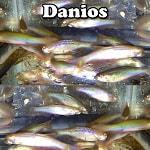 Freshwater Danios