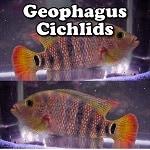Freshwater Geophagus Cichlids