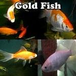 Fancy Goldfish for sale