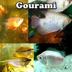 Gourami for aquariums