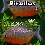 Piranhas for aquariums