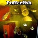 Brackish Pufferfish
