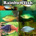 Exotic Rainbowfish for sale