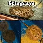 Exotic Stingrays for sale