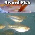 Freshwater swordfish