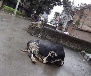 Cow napping in front of coffee shop