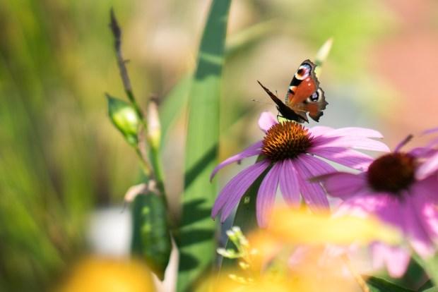 Foto-Challenge Woche 30: Tierfotografie Schmetterlinge