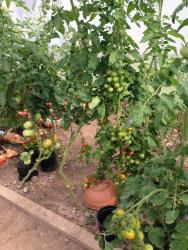 quanti pomodori