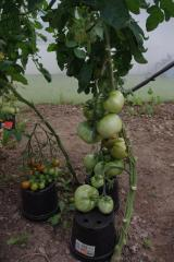 ancora pomodori
