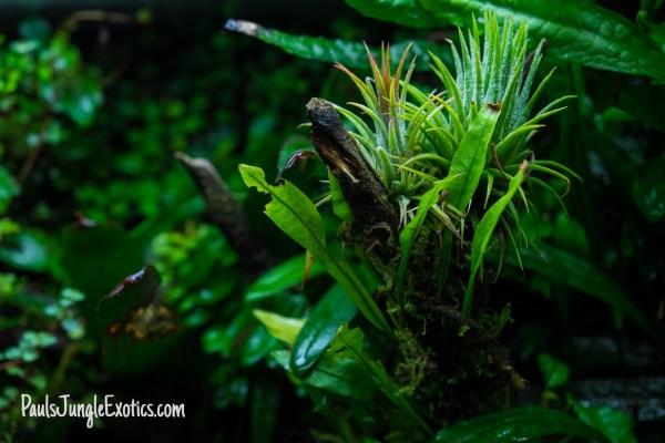 air plants in a paludarium