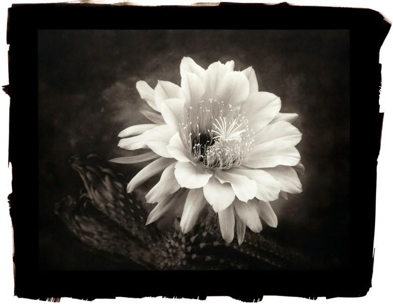 Hedgehog Cactus by Cy DeCosse