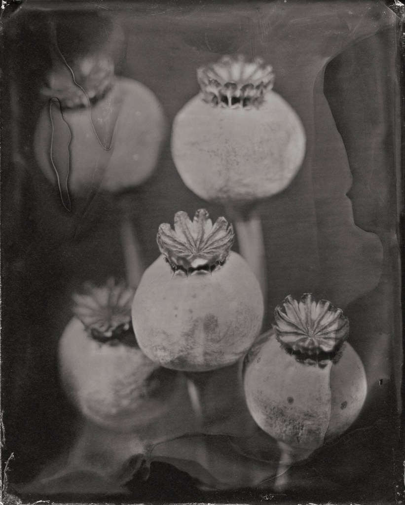 Portrait of Poppies by Michelle Smith-Lewis