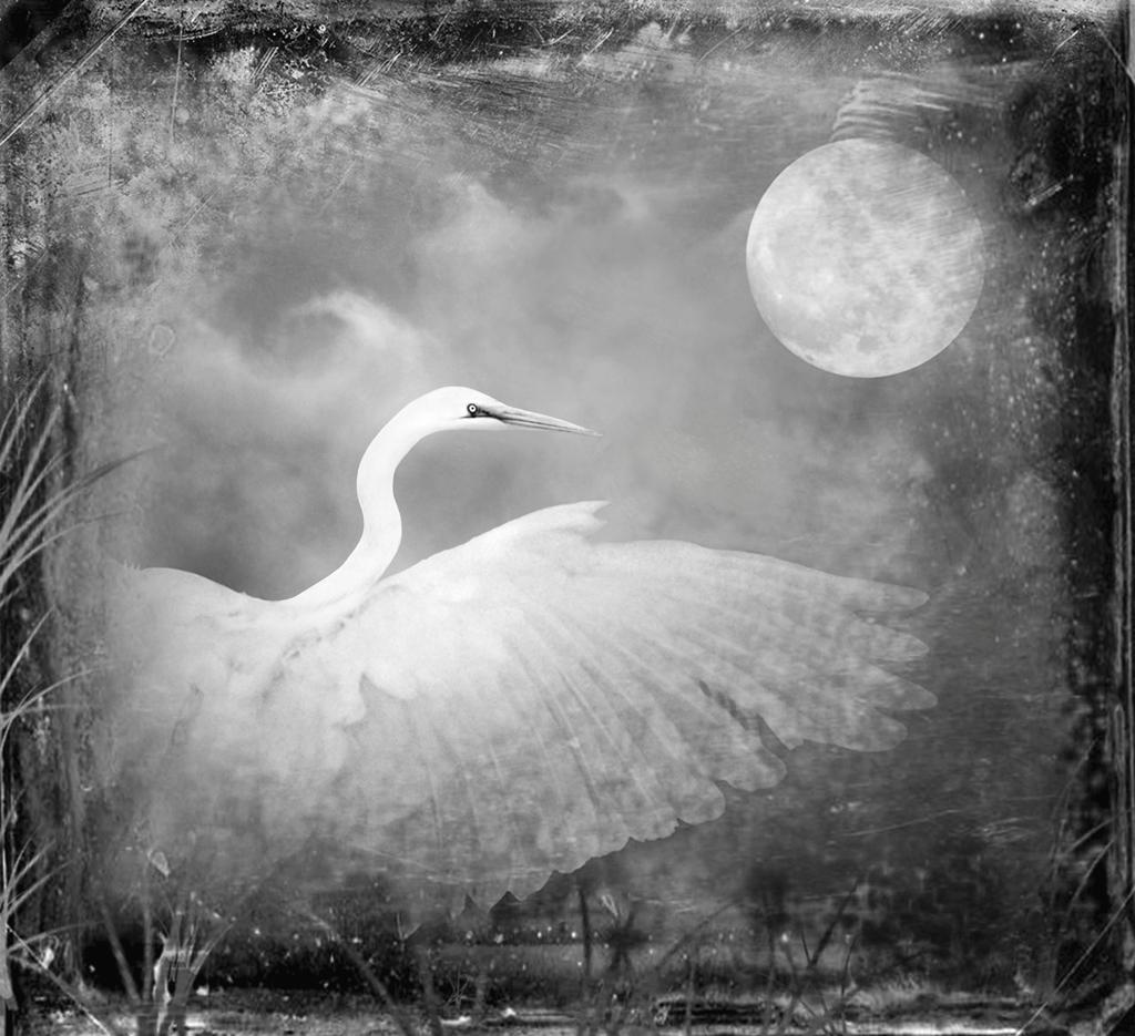 Snowy Egret © Dianne Yudelson