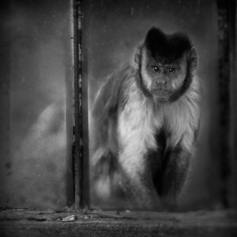 Capuchin © Anne Berry