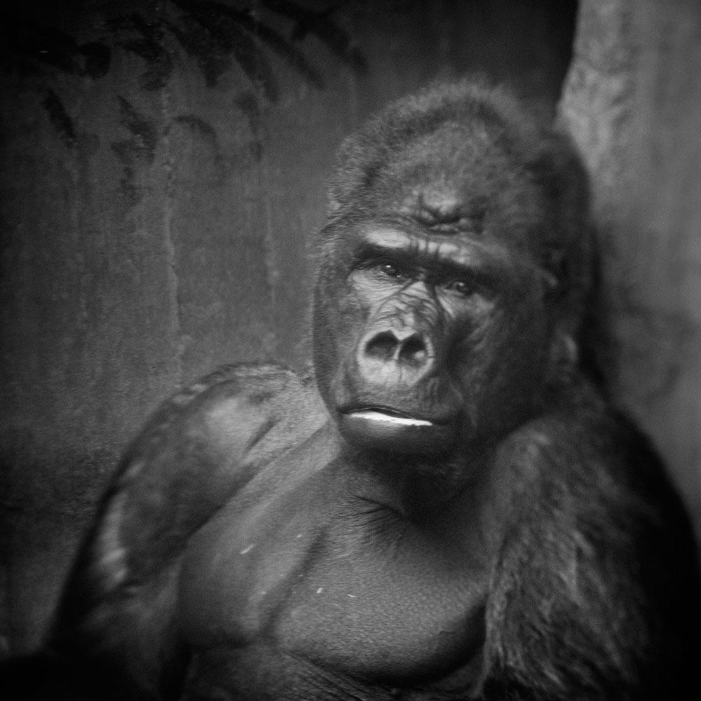 Krefeld Gorilla © Anne Berry