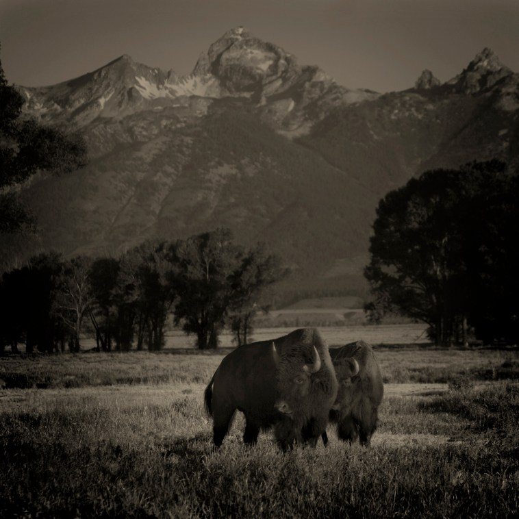 2 Buffalo © Jack Spencer
