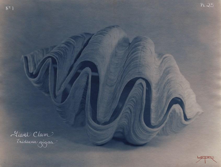 Giant Clam © Laszlo Layton