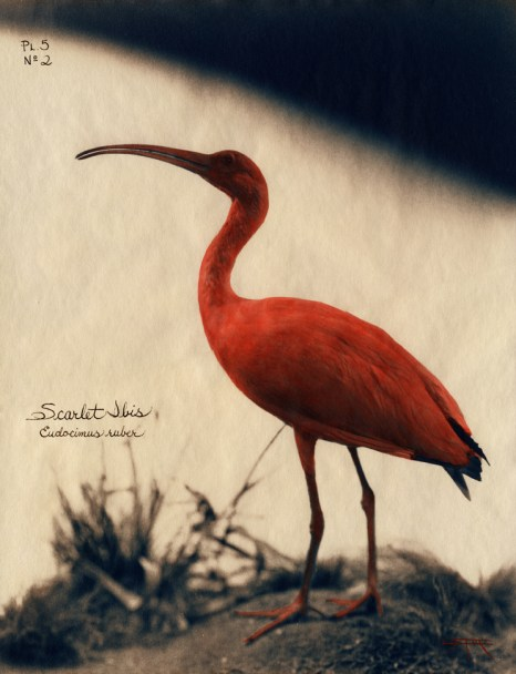 Scarlet Ibis © Laszlo Layton