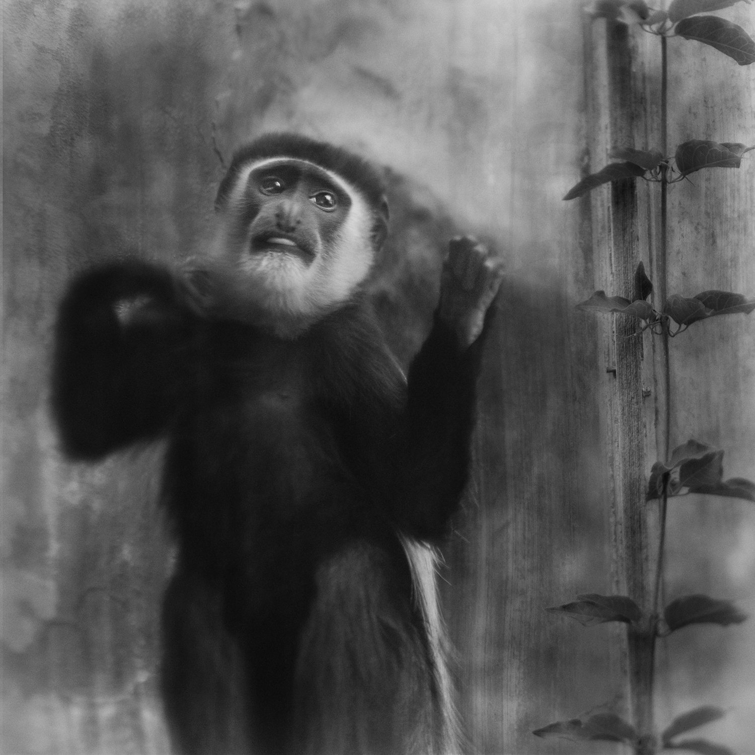 Knocking from the Inside, Colobus Monkey © Anne Berry