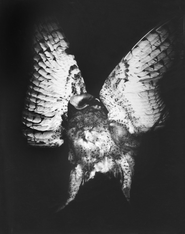 """Screech Owl, Point Arena 1973 """"Mother of Pearls"""" portfolio, which is a tribute to Minor White © WIlliam Giles."""