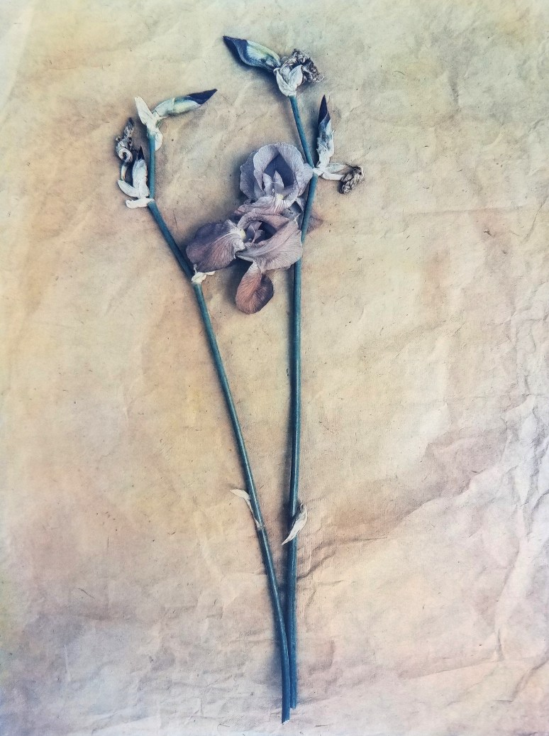 Bearded Iris © Diana Bloomfield