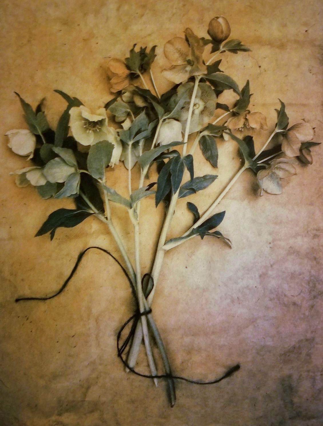 Lenten Roses © Diana Bloomfield