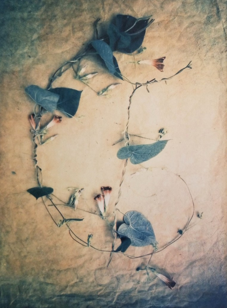 Morning Glories © Diana Bloomfield
