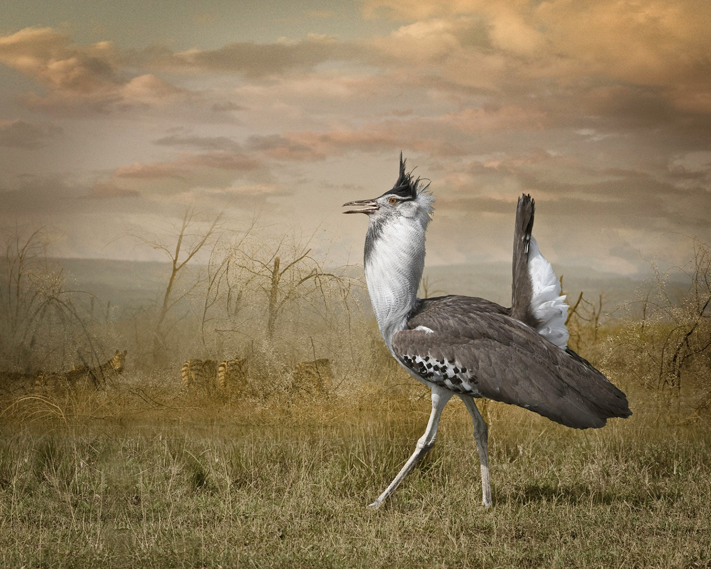 Kori Bustard with Zebras © Cheryl Medow