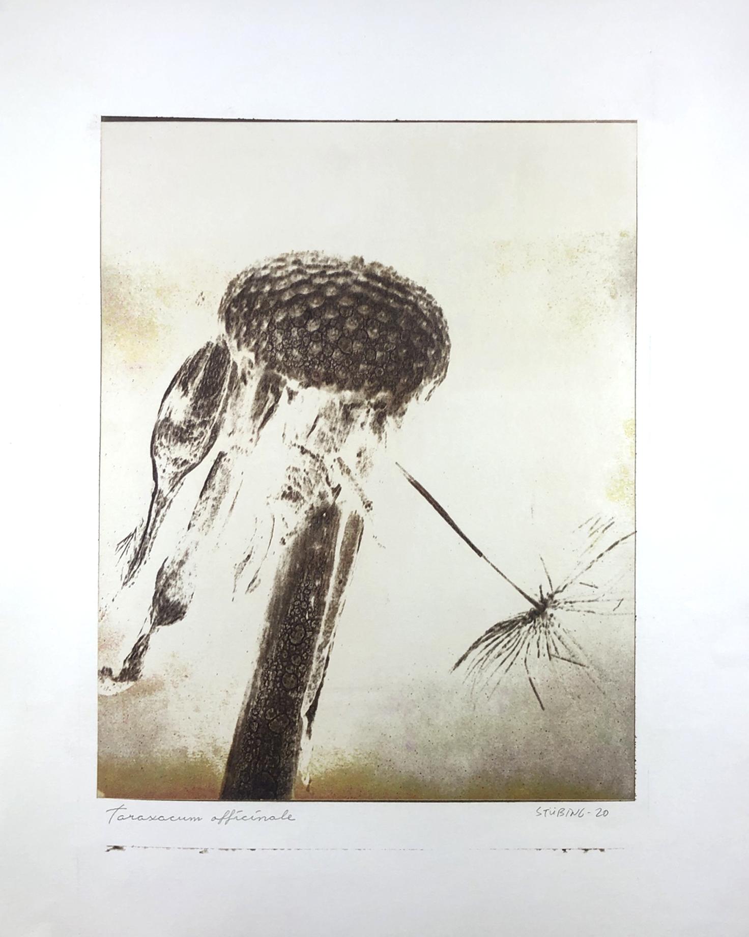 Taraxacum Officinale © Gerardo Stübing
