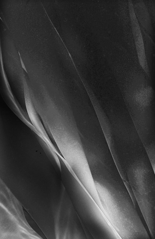 Aging Bull Kelp Blades © Chuck Davis