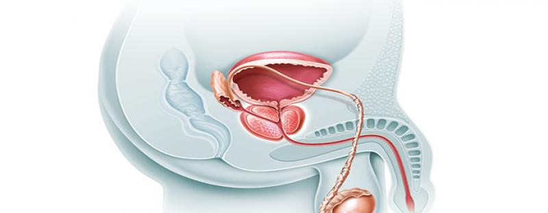 Novembro Azul 2019: O que é a próstata e para que ela serve?