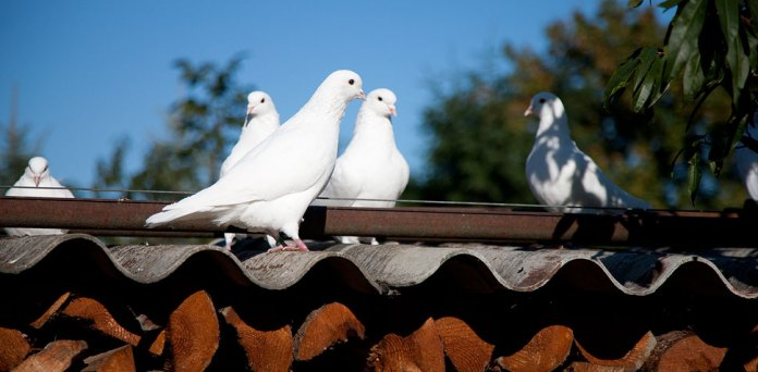 Mittelhäuser Tauben