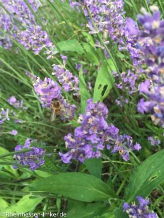 Bienen_2016-07-03_17-14-03