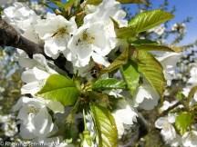 Biene mit Pollen an einer Kirschblüte.
