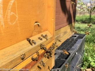 Mit Pollen beladende Bienen.