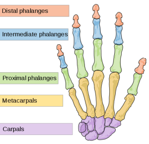 Distal phalanges, intermediate phalanges, proximal phalanges, metacarpals, carpals