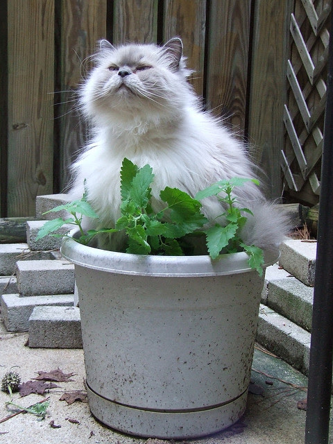 Catnip high
