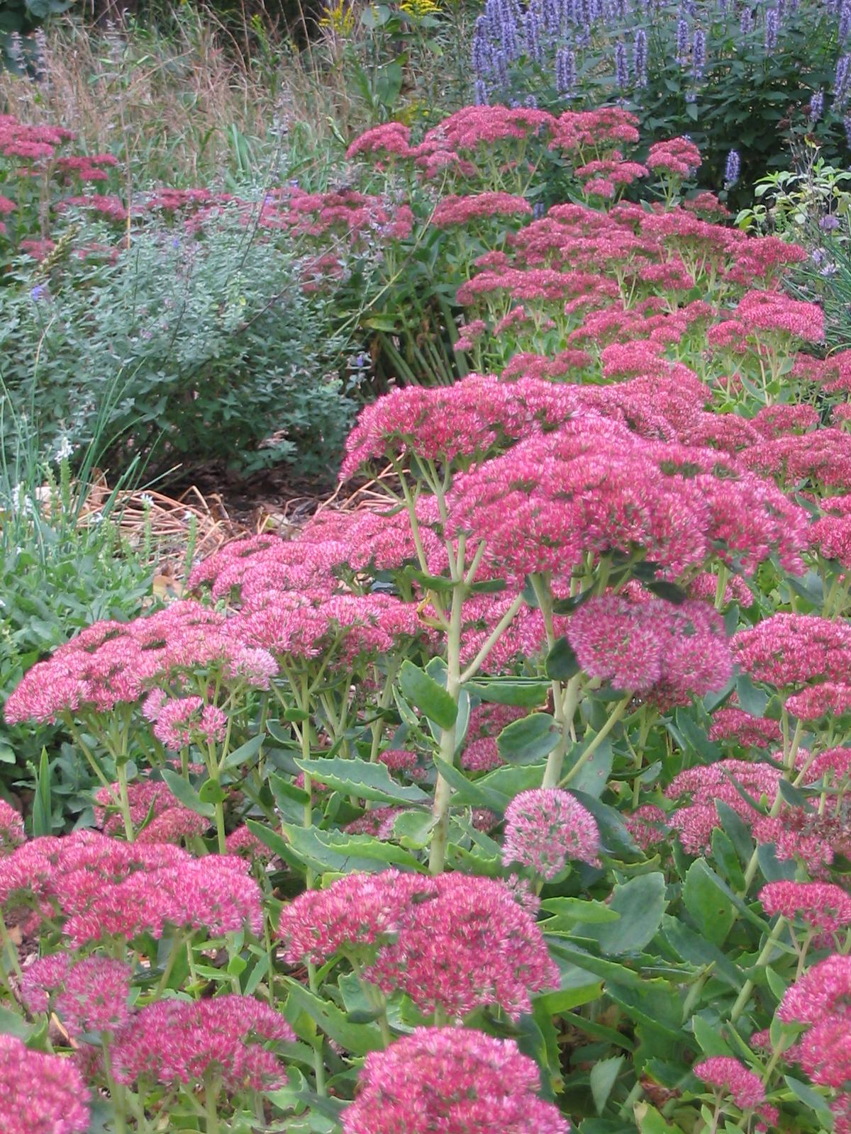 Part of my heart garden in September -- Sedum 'Autumn Joy.'